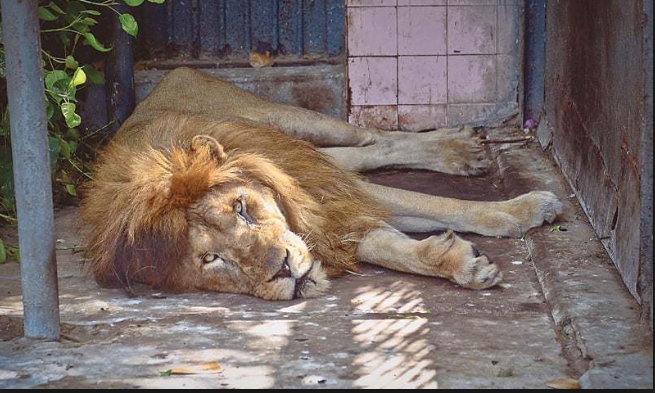 Comilla Zoo draws visitors' ire over care of lone ailing lion